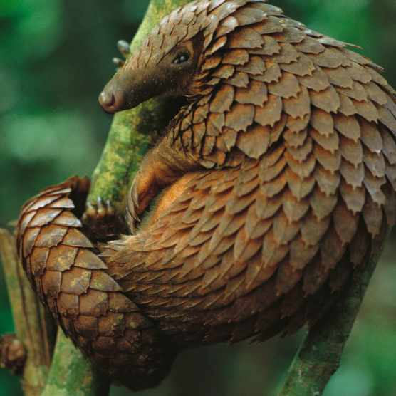 Pangolin Climbing a Tree
