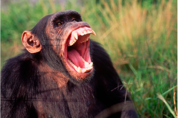 Male chimpanzee yawning