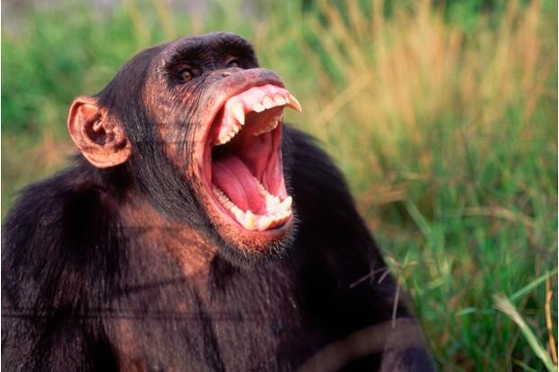 Male chimpanzee yawning