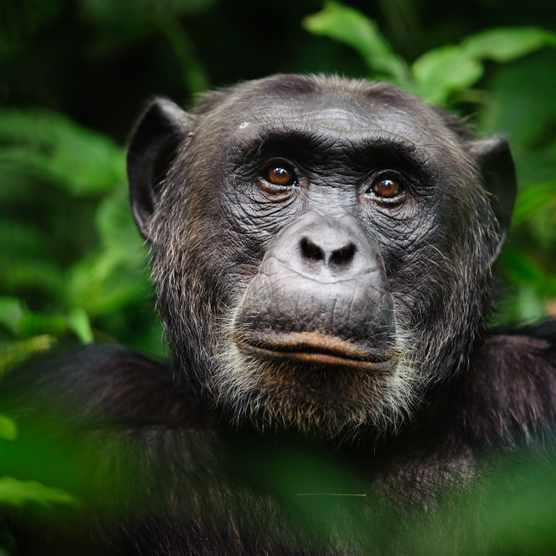 An extreme closeup portrait of the alpha male chimpanzee (Pan troglodytes), Kibale Forest National Park, Uganda. © Marc Guitard/Getty