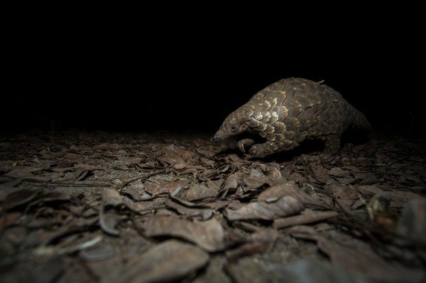 Cape pangolin (Smutsia temminckii) foraging at night in South Luangwa National Park, Zambia