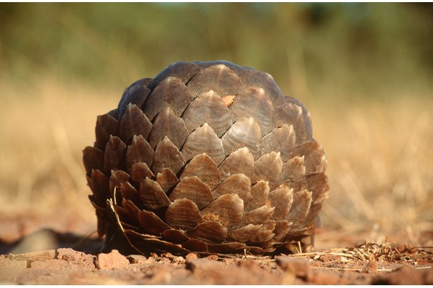 Tree pangolin rolled into a defensive ball in Matusadona National Park, Zimbabwe. © Daryl Balfour/Getty
