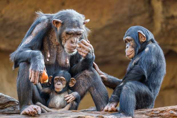 A chimpanzee family including the mother, a teenager and a baby chimpanzee