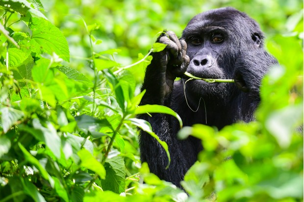 Chimpanzee eating plants
