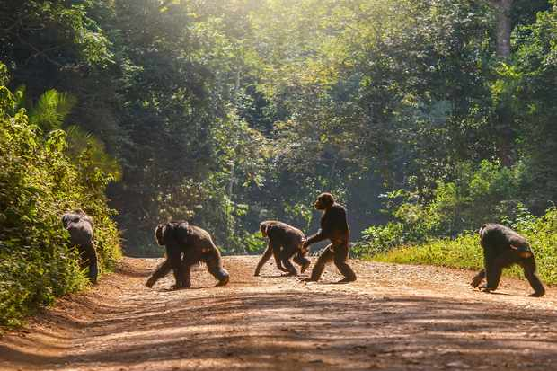 Five chimpanzees crossing a dirt road, one of them in an upright bipedal posture
