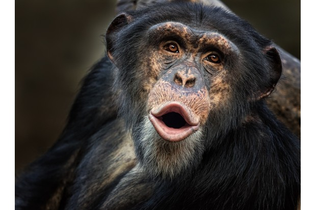 Portrait of a calling common chimpanzee (Pan troglodytes)
