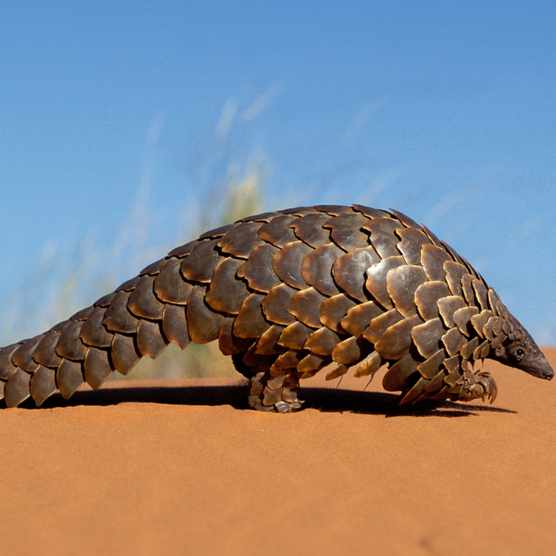 The ground pangolin, also known as Temminck's pangolin or the Cape pangolin. © Nigel Dennis/Getty