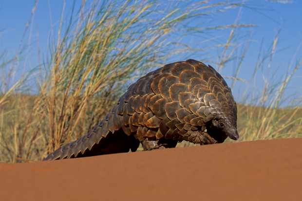 A ground pangolin walking through the Kalahari desert. © Nigel Dennis/Getty