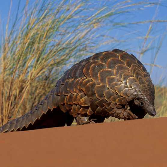 A ground pangolin walking through the Kalahari desert.