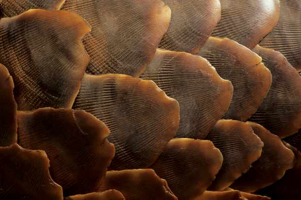 Close up of ground pangolin scales (Manus temminickii), Kgalagadi Transfrontier Park, Kalahari, South Africa