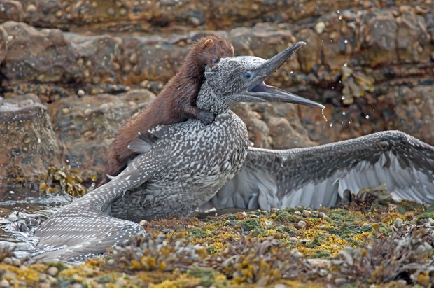 American mink preying on a juvenile gannet. © John W Anderson