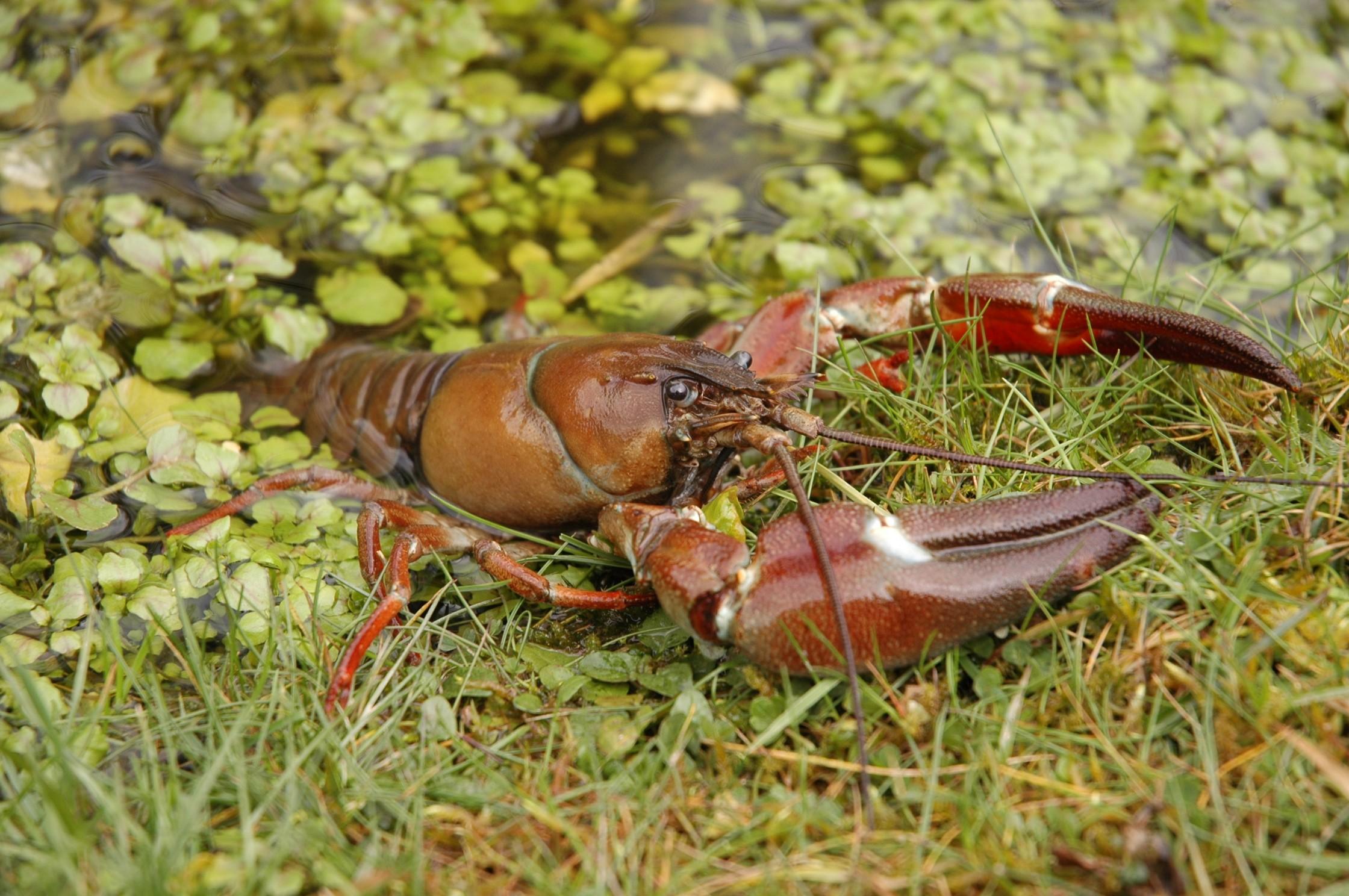 Signal crayfish © Trevor Renals