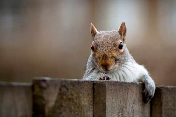Grey squirrel looking over a fence. © Andrew John Page / Getty