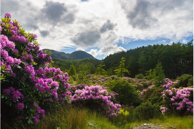 Rhododendrons in the Highlands of Scotland. © Getty