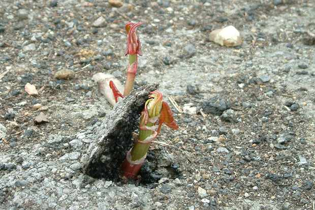 Japanese knotweed breaking through concrete. © GB NNSS