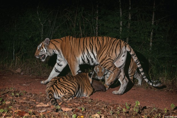 Two tiger cubs investigate a rock along a forest trail as their mother walks past. © DNP/Freeland