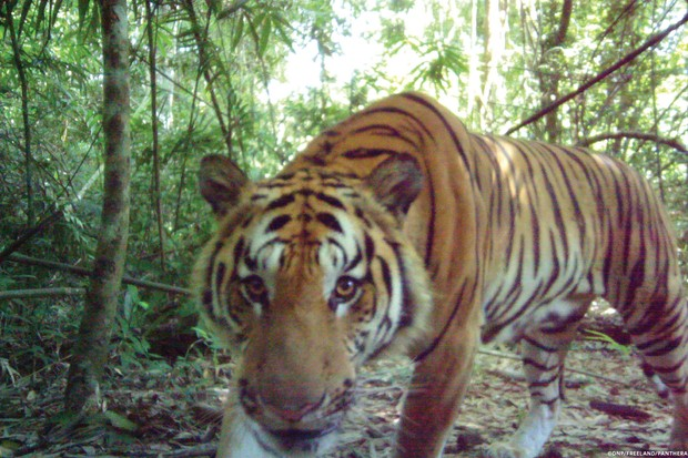 A tiger looks at one of the camera traps. © DNP/Freeland/Panthera