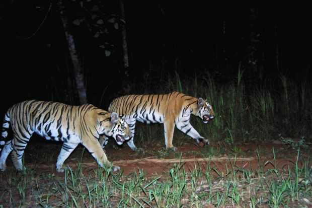 Two tigers pass in front of a camera trap. © DNP/Freeland/Panthera Camera Trap Images