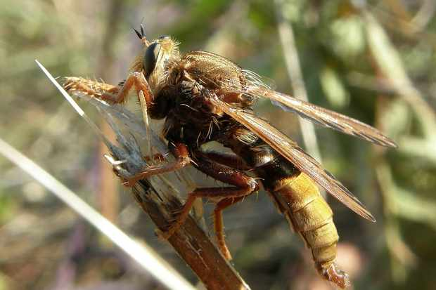 6 robberflies to look out for