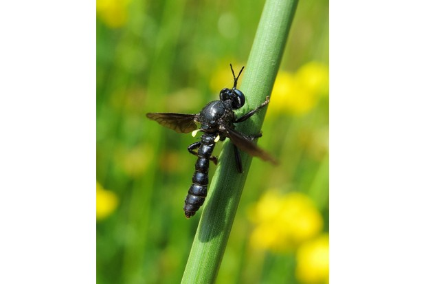 A male violet black-legged robberfly in Warwickshire. © Steven Falk