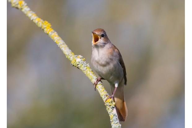 Nightingale (Luscinia megarthynchos) on branch