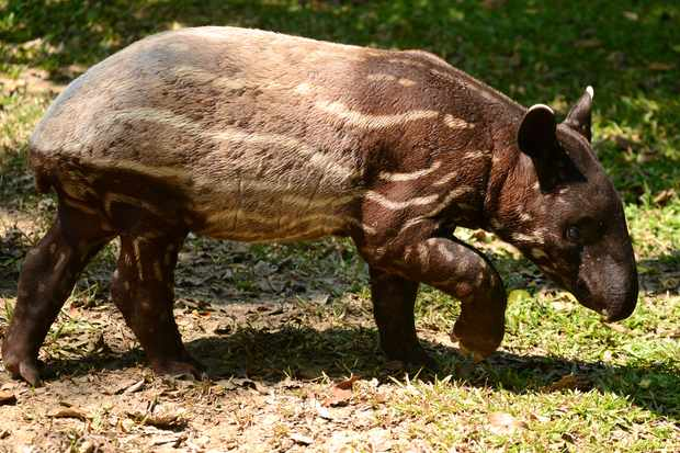 A young Malay tapir showing the fading stripes. © Dangdumrong/Getty