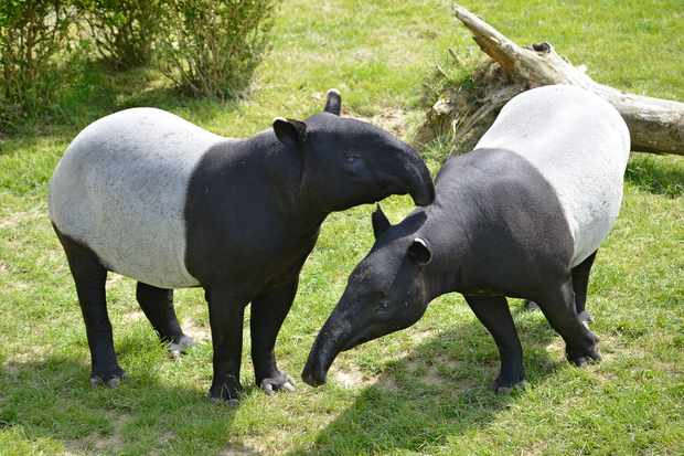 Two adult Malay tapirs (in captivity). © Musat/Getty