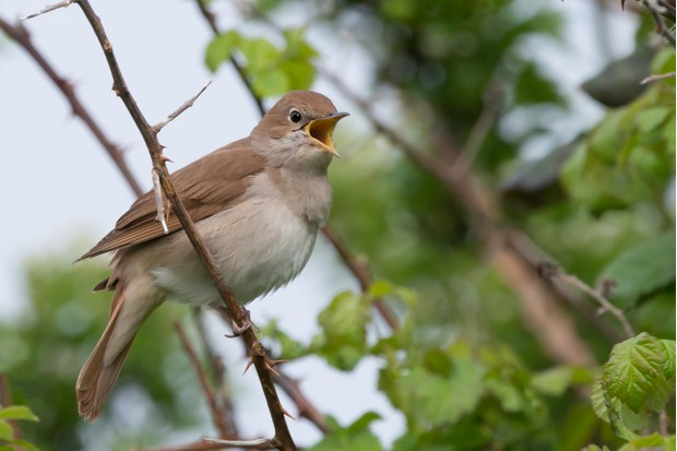 Nightingale (Luscinia megarhynchos) singing in a thorny thicket in April