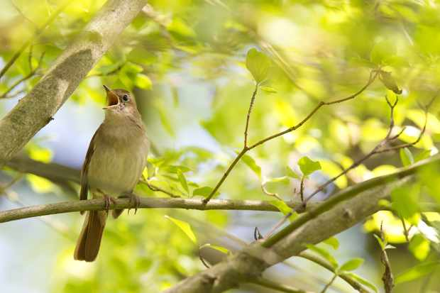 Common nightingale (Luscinia megarhynchos) singing in spring woodland