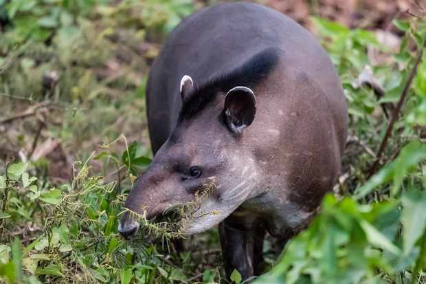 An adult lowland can tapir in Brazil, South America. © Michael Nolan/Getty