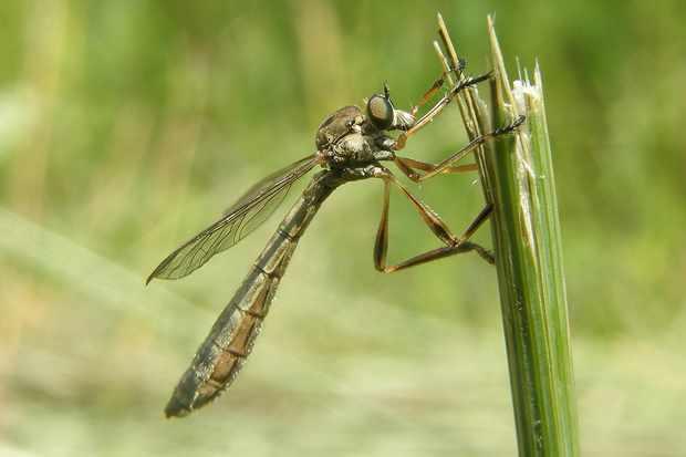 A female striped slender robberfly in Warwickshire. © Steven Falk