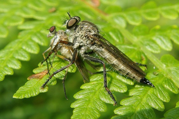 A female kite-tailed robberfly with prey in the New Forest. © Steven Falk