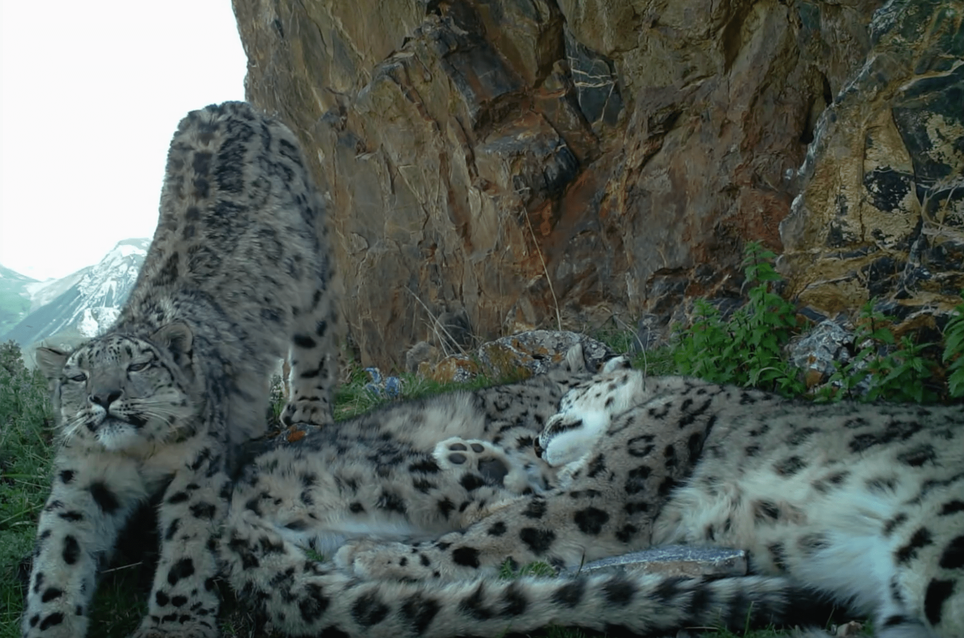The footage shows the snow leopards curled up together ©Panthera, Snow Leopard Trust and Shan Shui.