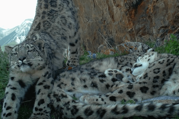 The footage shows the snow leopards curled up together © Panthera, Snow Leopard Trust and Shan Shui.