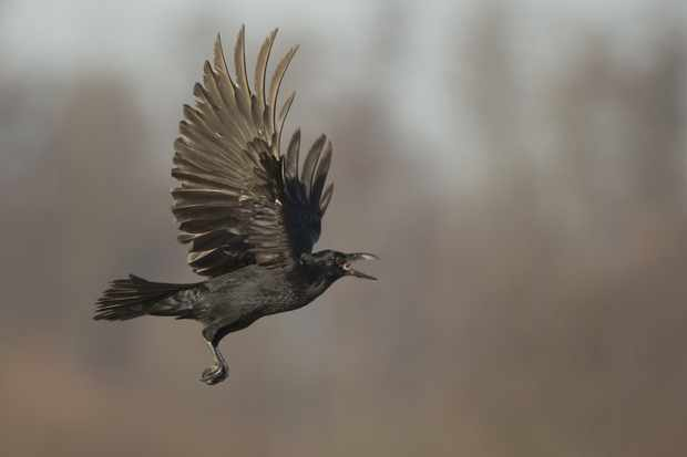 The 'kronking' sound of a raven is unique and can be used to identify their presence, even when they can't be seen. © Paul Hobson/Getty