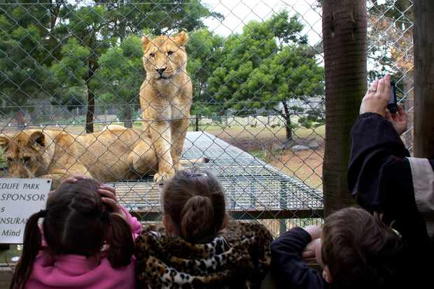 A lioness waits for feeding time watched by young children at Orana Wildlife Park, Christchurch.