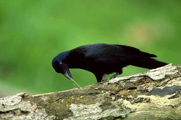 A new Caledonian crow using a tool to dislodge a worm. © Auscape/Getty