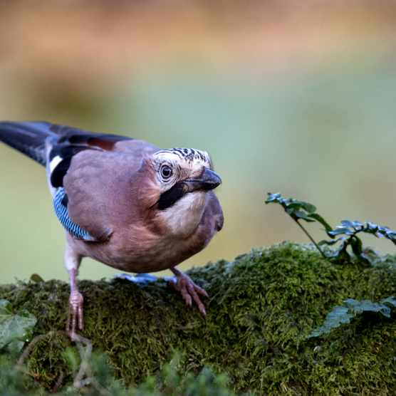 One of the more reclusive corvids in the UK, Eurasian jays favour woodland habitats. © Lillian King/Getty