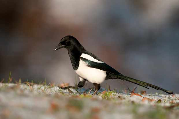 With its pied colouring, the Eurasian magpie is easy to identify. © Garden Picture Library/Getty