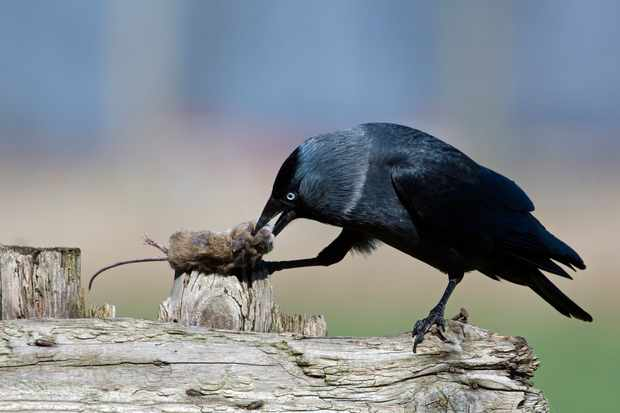 A jackdaw with rodent prey. © Arterra/Getty