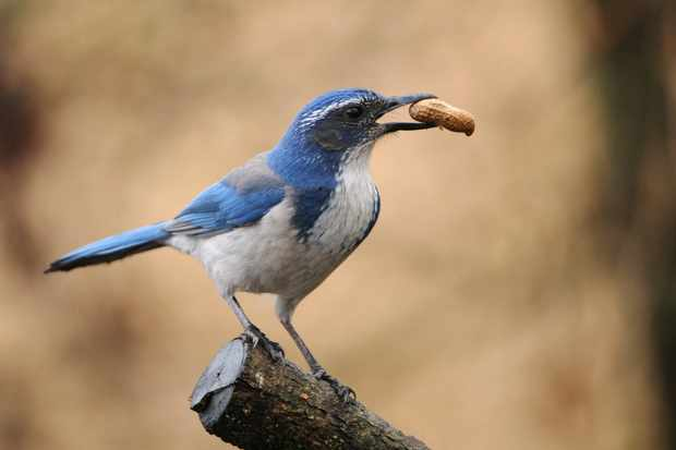Western scrub jays are flexible with their cache-protection strategies. © Rebecca Richardson/Getty