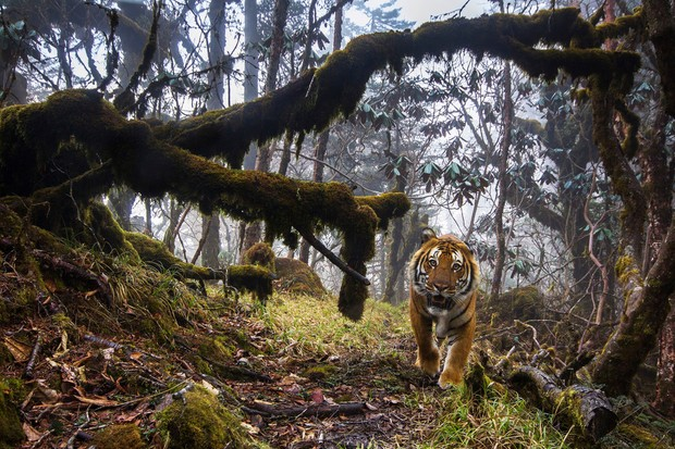 A wild tiger using a biological corridor, captured on DSLR camera trap, Bhutan © Emmanuel Rondeau/WWF