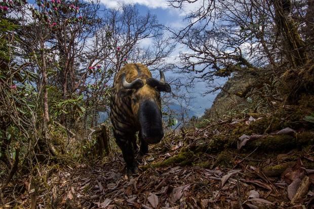 A takin, captured by camera trap. Corridor 8, Trongsa district, Bhutan © Emmanuel Rondeau/WWF