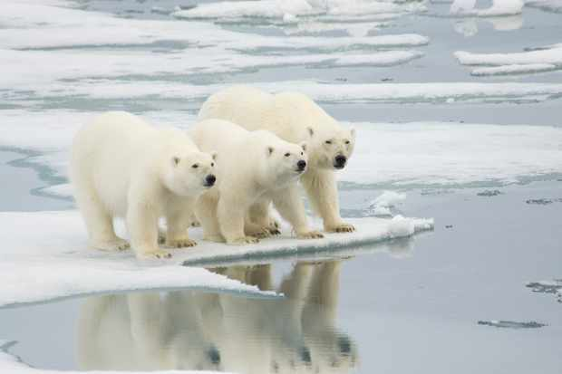 An adult female polar bear with her two yearling cubs, standing on ice flow in Spitsbergen, Norway. © Howard Perry/Getty