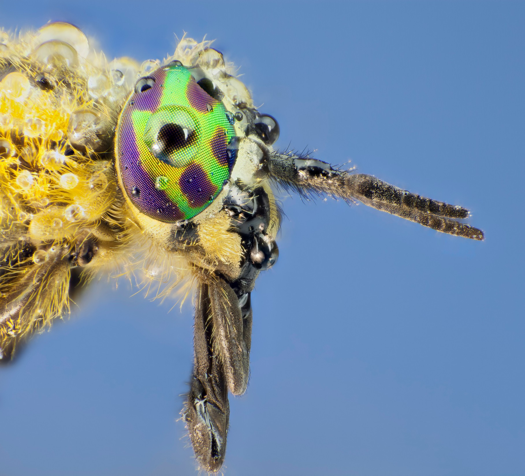 Common horsefly (H. pluvialis). © microman6/Getty