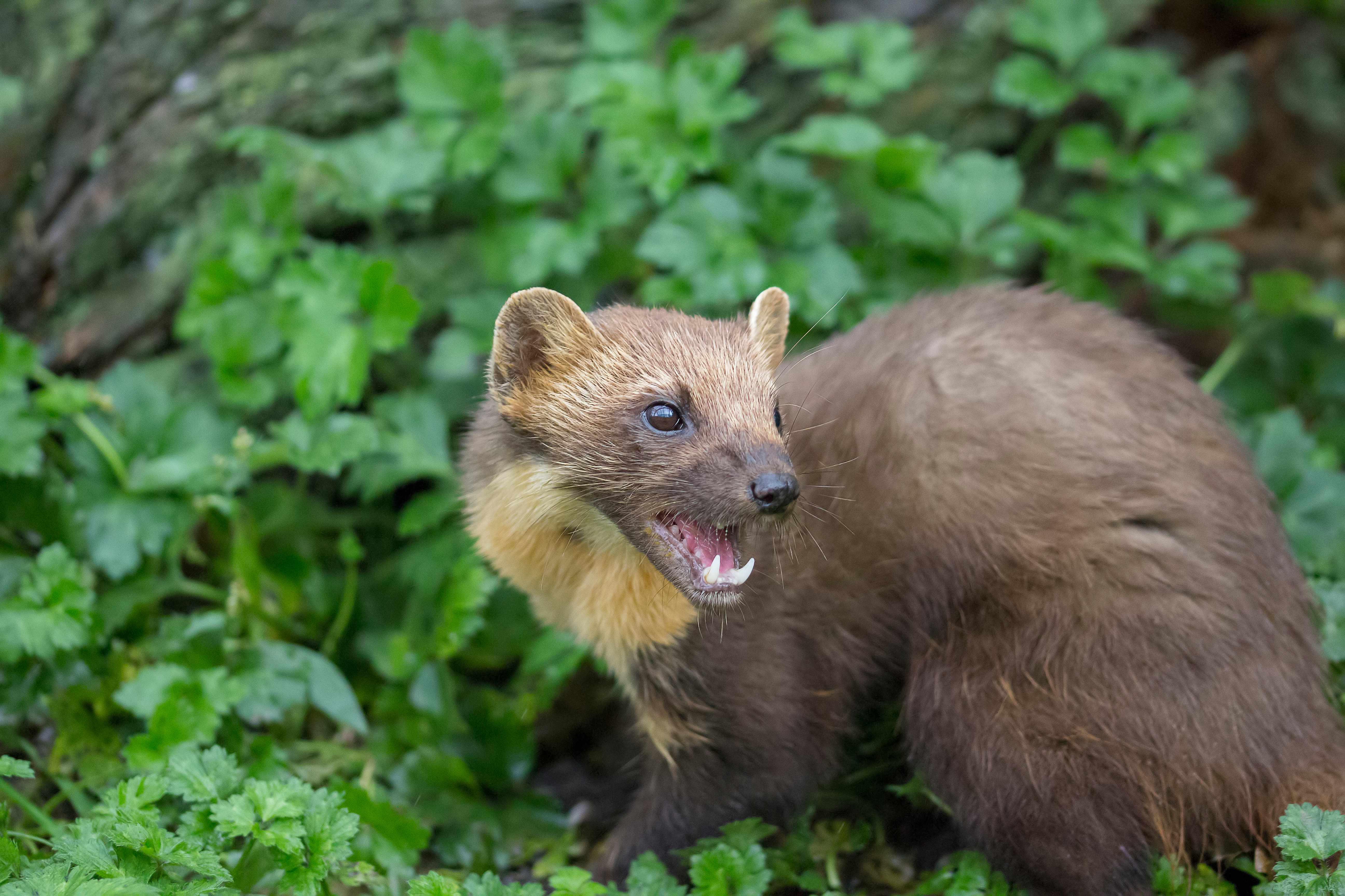 Pine marten hunting in the grass © Paul Carpenter / Getty