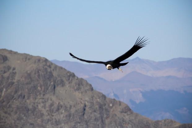 The Andean condor has a wingspan of almost 3.5 metres. © Paul Gatius/EyeEm/Getty