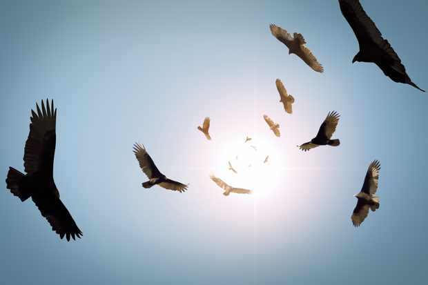 A flock of circling turkey vultures