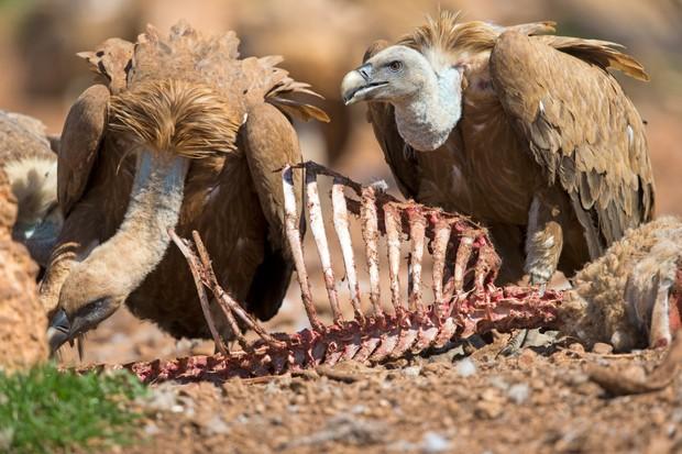 Eurasian Griffon Vulture (Gyps fulvus) feeding on a carcass.
