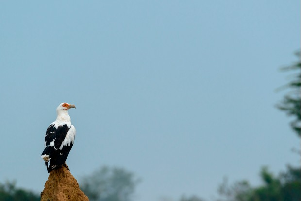 The palm nut vulture feeds mainly on the fruit of the oil palm. © Education Images/Getty